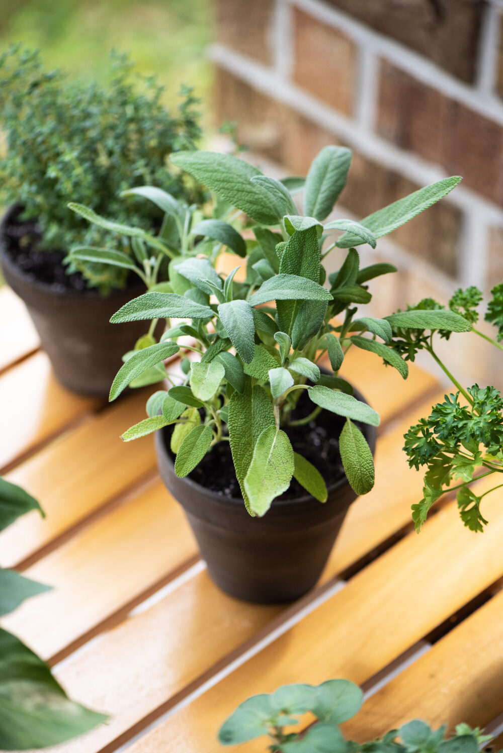 Fresh sage leaves in a planter